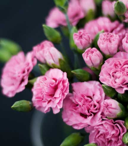 Cornish Scented Pinks Flowers By Clowance